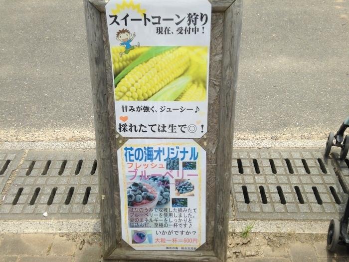 スイートコーンの収穫体験