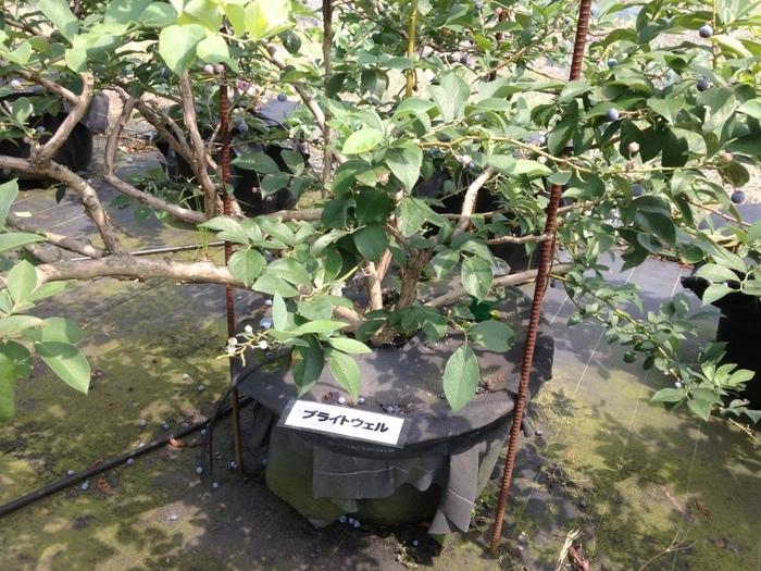 ブルーベリーの品種ブライトウェル